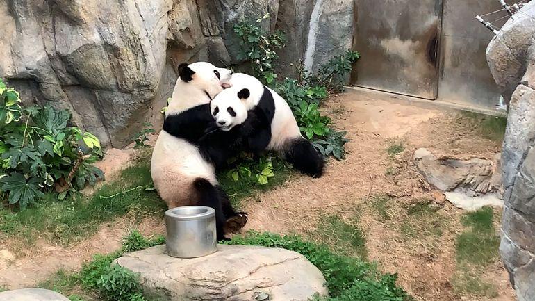Chine: les pandas du zoo de Hong Kong s'accouplent pour la première fois en 10 ans