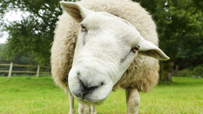 Bon plan : des moutons pour l'entretien des espaces verts