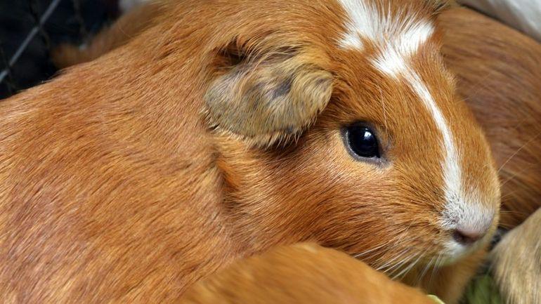 Coronavirus: des tests sur les hamsters à Hong Kong prouvent l'efficacité des masques