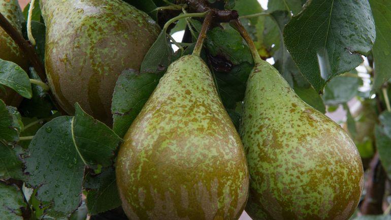 Pommes et poires: la Belgique et la Pologne demandent à nouveau l'aide de l'Europe