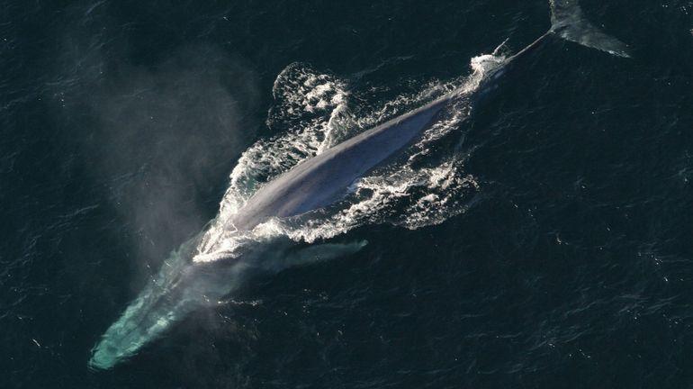 L'Islande augmente ses quotas de chasse à la baleine, malgré l'avis négatif de la communauté internationale