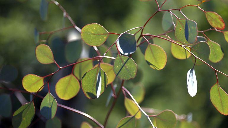 Dans le sud de la France, les cultures d'eucalyptus saignées par des voleurs au sécateur