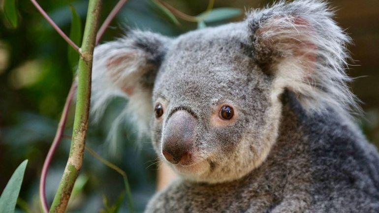 Feux en Australie: pétition pour introduire le koala en Nouvelle-Zélande
