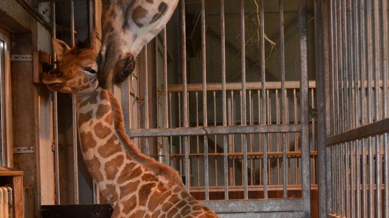 Une girafe de Rothschild est née à Bellewaerde
