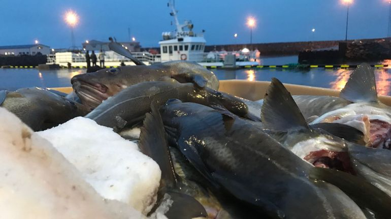 Cabillauds, aiglefins& En Islande, la pêche à la ligne, plus durable, même à grande échelle