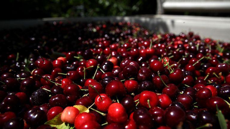 Les producteurs de cerises limbourgeois annoncent une récolte exceptionnelle