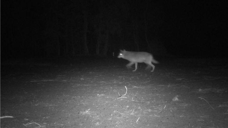 Mort de la louve Naya: l'association des chasseurs flamands envisage de porter plainte pour diffamation
