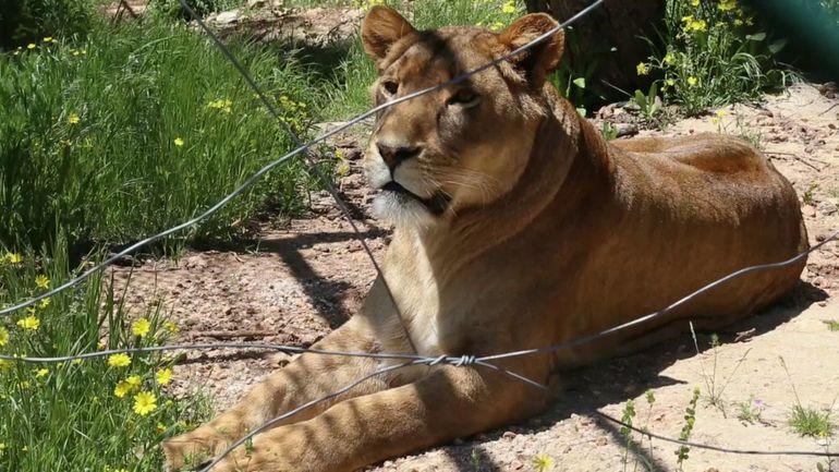 Une réserve unique en Jordanie: elle accueille des animaux traumatisés par la guerre